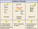 Oxidation of Pyruvate and the Citric Acid Cycle