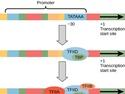 Eukaryotic Transcription