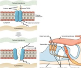 Biology, Animal Structure and Function, Sensory Systems, Sensory Processes