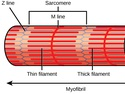 Muscle Contraction and Locomotion