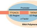 Prokaryotic Transcription